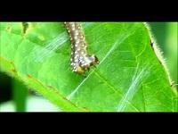 Bladwesp (larve) onbekend – Symphyta indet. (F1)