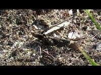 Blauwvleugelsprinkhaan – Oedipoda caerulescens (F1)