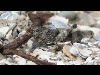 Blauwvleugelsprinkhaan - Oedipoda caerulescens (F3)