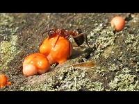 Bloedrode Roofmier – Formica sanguinea (F1)