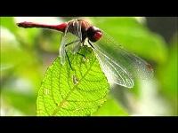Bloedrode heidelibel – Sympetrum sanguineum (F1)