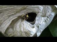 Boswesp – Dolichovespula sylvestris (F1)