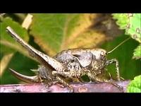 Bramensprinkhaan – Pholidoptera griseoaptera (F1)