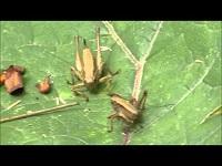Bramensprinkhaan – Pholidoptera griseoaptera (F2)