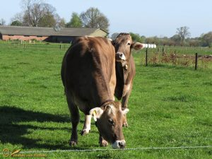 Brown Swiss rund