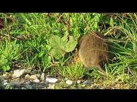 Bruine Rat - Rattus norvegicus (F1)