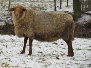 Coburger Fuchs schaap