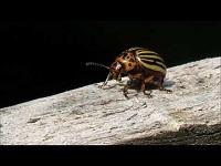 Coloradokever – Leptinotarsa decemlineata (F1)