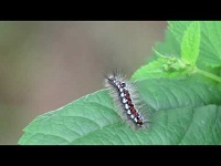 Donsvlinder (rups) – Euproctis similis (F1)