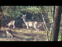 Edelhert – Cervus elaphus & Damhert – Dama dama (F1)