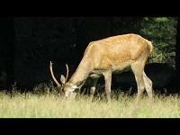 Edelhert – Cervus elaphus (F12)