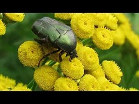 Gedeukte Gouden Tor – Protaetia metallica (F1)