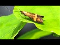 Geelbandlangsprietmot – Nemophora degeerella (F1)