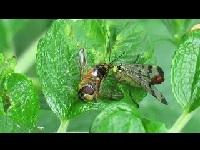 Gewone Schorpioenvlieg - Panorpa communis (F1)