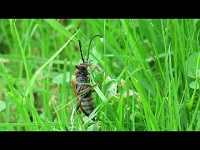Gewone Smalboktor - Stictoleptura rubra (F1)