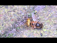 Gewone Wesp – Vespula vulgaris (F1)