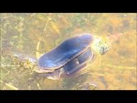 Gewone poelslak – Lymnaea stagnalis
