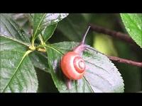 Gewone tuinslak – Cepaea nemoralis (F1)