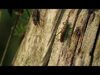 Gewoon Spitskopje – Conocephalus dorsalis (F1)