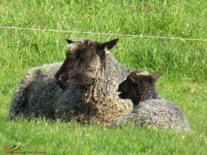 Gotland pelsschaap