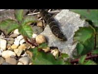 Groot avondrood (rups) – Deilephila elpenor (F1)