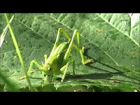 Grote Groene Sabelsprinkhaan – Tettigonia viridissima (F1)
