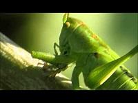 Grote Groene Sabelsprinkhaan – Tettigonia viridissima (F2)