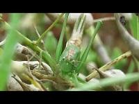 Grote Groene Sabelsprinkhaan - Tettigonia viridissima (F5)
