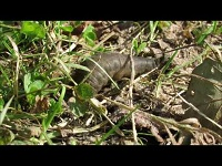 Grote Spinnende Watertor – Hydrophilus piceus (F1)