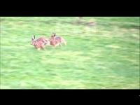 Haas – Lepus europaeus (F2)