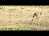 Haas – Lepus europaeus (F3)