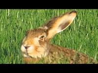 Haas – Lepus europaeus (F4)