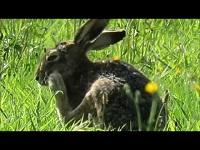 Haas – Lepus europaeus (F5)