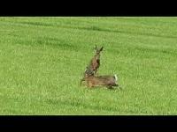 Haas – Lepus europaeus (F7)