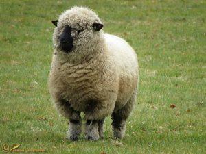Hampshire Down schaap