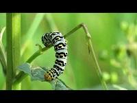 Helmkruidvlinder (rups) – Shargacucullia scrophulariae (F1)