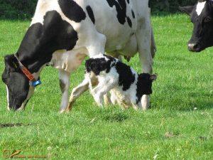 Holstein Friesian rund