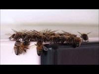 Honingbij – Apis mellifera (F1)