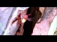 Hoornaar – Vespa crabro (F1)