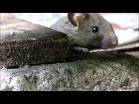 Huismuis – Mus musculus