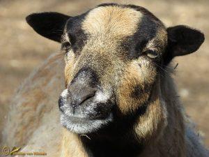 Kameroenschaap – Ovis ammon f. aries