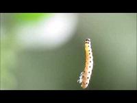 Kardinaalsmutsstippelmot (rups) – Yponomeuta cagnagella (F1)