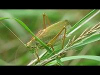 Kleine Groene Sabelsprinkhaan – Tettigonia cantans (F1)