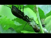 Kleine Poppenrover - Calosoma inquisitor (F1)