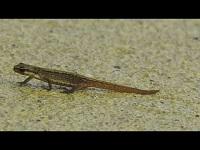 Kleine Watersalamander - Lissotriton vulgaris (F1)