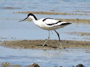 Kluut – Recurvirostra avosetta