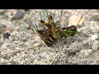 Knopsprietje – Myrmeleotettix maculatus (F1)