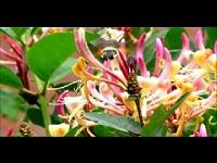 Kolibrievlinder – Macroglossum stellatarum (F1)