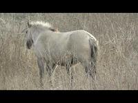 Konik – Equus caballus caballus (F1)