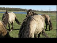 Konik – Equus caballus caballus (F2)